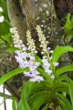 Orchideen, die von einem Baum hängen Stockfotos