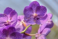Orchideen für moders Tag lizenzfreie stockbilder