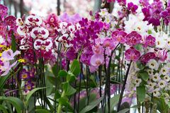 Orchideen im Keukenhof-Park Lizenzfreie Stockbilder