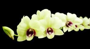 Orchideen lokalisiert auf schwarzem Hintergrund Stockfotos
