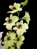 Orchideen lokalisiert auf schwarzem Hintergrund Lizenzfreie Stockfotos