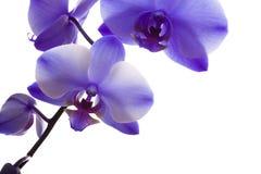 Orchideen-Nahaufnahme auf weißem Hintergrund Stockbild