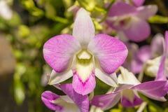 Orchideen, Orchideenpurpur, Orchideen purpurrot Lizenzfreies Stockbild