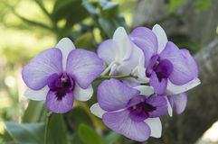 Orchideen purpurrot Stockbilder