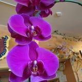 Orchideen/Purpurrotes lizenzfreie stockfotos