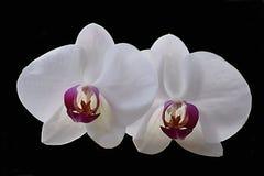 Orchideen-schwarzer Hintergrund Stockfotos