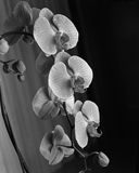Orchideen in Schwarzweiss Stockfotos