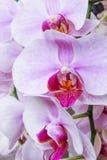 Orchideen Thailand Lizenzfreie Stockfotos