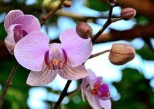 Orchideen-Thailand-Bananenvielzahl Wanda Lizenzfreie Stockfotos