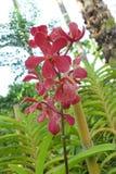 Orchideen - Thailand Rose Garden Lizenzfreie Stockfotografie