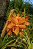 Orchideen - Thailand Rose Garden Stockfotos