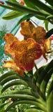 Orchideen, Tigerfarbblume, Garten, Blumenblätter, grünes Blatt lizenzfreies stockfoto