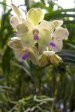 Orchideen (Vanda) Lizenzfreies Stockbild