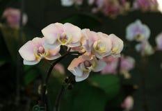 Orchideen von Singapur Stockbilder