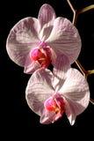 Orchideenahaufnahme Stockbilder