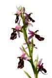 Orchideenahaufnahme Lizenzfreie Stockbilder