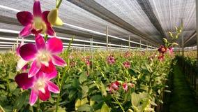 Orchideenbauernhof Stockfotografie