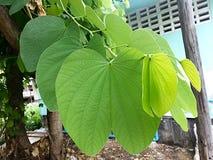 Orchideenbaumblatt Lizenzfreie Stockfotos