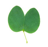 Orchideenbaumblatt lokalisiert auf dem Weiß Stockfotografie