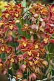 Orchideenblüte Lizenzfreie Stockfotografie