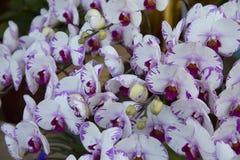 Orchideenblüte Lizenzfreies Stockfoto