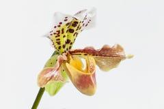 Orchideenblume Lizenzfreie Stockbilder