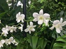 Orchideenblume Dendrobium memoria Prinzessin Diana Lizenzfreie Stockfotografie