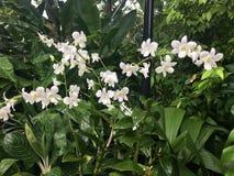 Orchideenblume Dendrobium memoria Prinzessin Diana Stockfotos