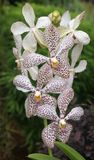 Orchideenblume im Singapur-Orchideen-Garten Stockbilder