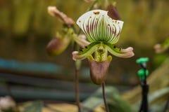 Orchideenblume und Grünblatthintergrund Stockfoto