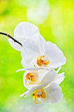 Orchideenblumen Lizenzfreies Stockbild