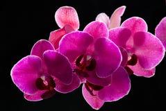 Orchideenblumen Lizenzfreies Stockfoto