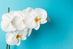 Orchideenblumen auf blauem Hintergrund lizenzfreies stockfoto