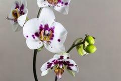 Orchideenblumen auf einem grauen Hintergrund Schablone für Ihre Auslegung lizenzfreie stockfotografie