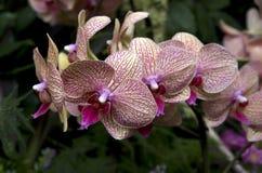 Orchideenblumen im subtropischen Garten Stockfoto