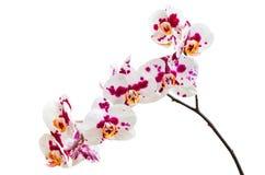 Orchideenblumen mit den purpurrotes Weiß beschmutzten Blumenblättern Stockfotos