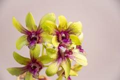 Orchideenblumen mit Wassertropfen stockbild