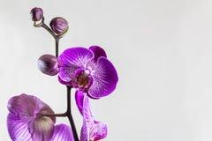 Orchideenblumen und -knospen lokalisiert auf einem grauen Hintergrund Schöne Schablone für Ihr Design mit Raum für einen Text lizenzfreie stockfotos
