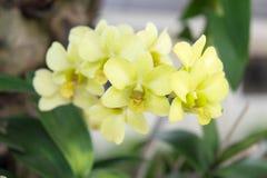 Orchideenblumen von Thailand Lizenzfreies Stockbild