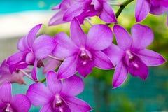 Orchideenblumen von Thailand Stockbild