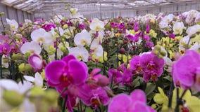 Orchideenblumenabschlu? oben, bl?hender Orchideenabschlu? oben, sch?ner Orchideenabschlu? oben stock video