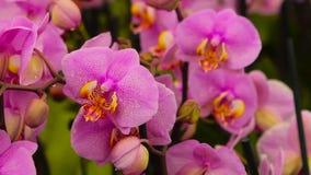 Orchideenblumenabschlu? oben, bl?hender Orchideenabschlu? oben, sch?ner Orchideenabschlu? oben stock video footage