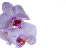 Orchideenblumenblätter Lizenzfreie Stockfotos
