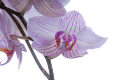 Orchideenblumenmakro Lizenzfreies Stockbild