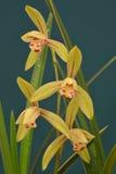 Orchideenblumennahaufnahme Lizenzfreie Stockbilder