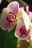 Orchideenblumennahaufnahme Lizenzfreie Stockfotos