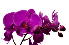 Orchideenblumennahaufnahme auf lokalisiert Stockfoto