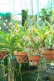 Orchideenblumentöpfe auf einer Betriebskindertagesstätte Stockfoto