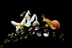 Orchideengottesanbeterin Stockbilder
