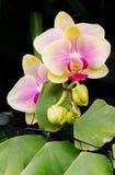 Orchideenknospe zu blühen lizenzfreies stockfoto